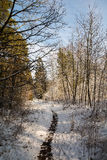 Forest in winter. Beautiful landscape - forest in winter Royalty Free Stock Images