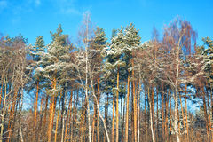 Forest in winter, birch and pine trees Royalty Free Stock Images