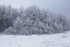 Forest. Winter forest covered with hoarfrost Stock Image