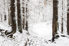 Forest in the winter Stock Image