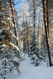 Forest in winter day Stock Photos