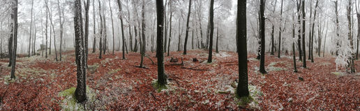 Forest winter 360 degrees panorama Royalty Free Stock Photos
