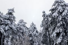 Forest and winter. Winter season Stock Image