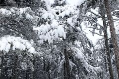 Forest and winter. Winter season Stock Photography