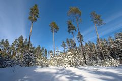 Forest in winter. Royalty Free Stock Photo