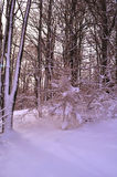Forest in winter. Illuminated forest in the winter months Royalty Free Stock Photos