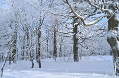 Forest in winter. Illuminated forest in the winter months Royalty Free Stock Images