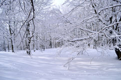 Forest in winter. Illuminated forest in the winter months Royalty Free Stock Image