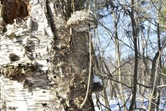 Forest. Winter. Old tree. Big mushroom on the tree. tree bark. nature. vegetation. european. The sterile conk is irregularly formed and has the appearance of Stock Image