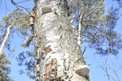 Forest. Winter. Old tree. Big mushroom on the tree. tree bark. nature. vegetation. european. The sterile conk is irregularly formed and has the appearance of Stock Photo