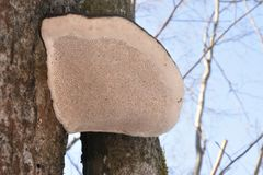 Forest. Winter. Old tree. Big mushroom on the tree. tree bark. nature. Vegetation. european. The sterile conk is irregularly formed and has the appearance of Royalty Free Stock Images