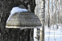 Forest. Winter. Old tree. Big mushroom on the tree. tree bark. nature. Vegetation. european. The sterile conk is irregularly formed and has the appearance of Royalty Free Stock Photos