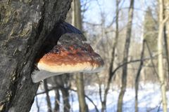 Forest. Winter. Old tree. Big mushroom on the tree. tree bark. nature. Vegetation. european. The sterile conk is irregularly formed and has the appearance of Royalty Free Stock Image