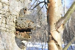 Forest. Winter. Old tree. Big mushroom on the tree. tree bark. nature. vegetation. European. The sterile conk is irregularly formed and has the appearance of Stock Photography