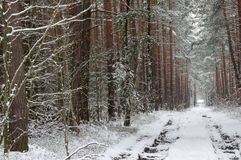Forest in winter. Royalty Free Stock Image