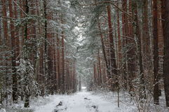 Forest in winter. Royalty Free Stock Images