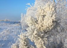 Forest winter pine tree covered with fluffy white snow forest in winter in Siberia. Forest winter pine covered with fluffy white snow in winter in Siberia tree royalty free stock photo