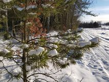 Forest during winter. Pine tree covered by snow, during winter season Royalty Free Stock Photography