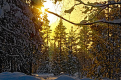 Forest winter in rays of setting sun Royalty Free Stock Images