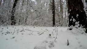 Forest in the winter season. Panorama in the winter forest stock footage