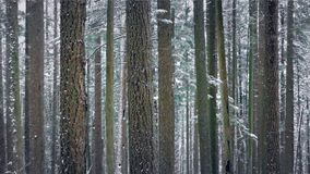 Forest In Winter With Snow Falling - Looped. Beautiful woodland scene of trees in snowfall. Looped for endless playback stock video footage