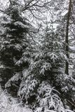 Forest in the winter Royalty Free Stock Photos