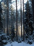 Forest in winter. Snowy forest in winter in Estonia Royalty Free Stock Image