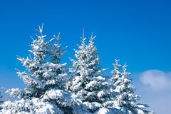 Forest in winter - snowy firtrees Royalty Free Stock Images