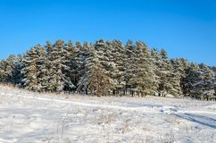 Forest in winter sunny day. Winter. Coniferous forest in frosty and sunny day Stock Photos