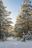Forest in winter sunny day. Winter. Coniferous forest in frosty and sunny day Royalty Free Stock Image
