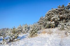 Forest in winter sunny day. Winter. Coniferous forest in frosty and sunny day Stock Images