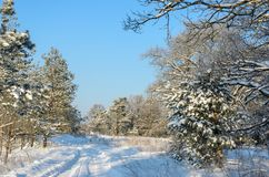 Forest in winter sunny day. Winter. Coniferous forest in frosty and sunny day Royalty Free Stock Photography