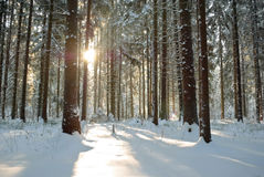 Forest in winter under sun Stock Image