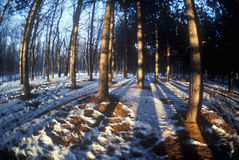 Forest in Winter, VT Royalty Free Stock Photography