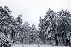Forest and winter. Winter season Royalty Free Stock Photos