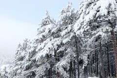 Forest and winter. Winter season Royalty Free Stock Photography