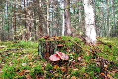 Forest With Stump And Mushrooms Autumn View Royalty Free Stock Photos