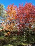 Autumn in the forest green yellow red blue. Forest wood trees green yellow red autumn fall  leaves  grass  sun   canada  landscape garden sky blue birch Royalty Free Stock Images
