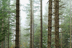 Forest Wood Trees with White Foggy Royalty Free Stock Images