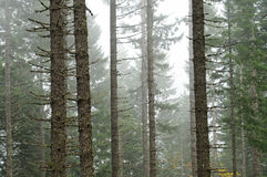 Forest Wood Trees with White Foggy Royalty Free Stock Photo
