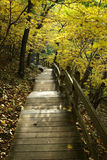 Into the Forest. Wooden pathway leads into golden forest stock images