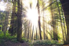 Forest, Woodland, Ecosystem, Tree Royalty Free Stock Images