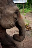 a forest working elephant resting at home after a long day of pulling logs from the jungle royalty free stock images