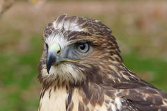 Forest (common) buzzard portrait Stock Photo