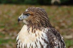 Forest (common) buzzard portrait Royalty Free Stock Photo