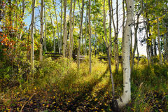 Forest of yellow aspens during the foliage Stock Image