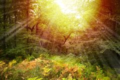 Forest of yellow ferns illuminated by sunbeams royalty free stock photos