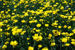 Forest of Yellow Flowers. (shallow depth of field Royalty Free Stock Images