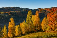 Forest with yellow foliage on hillside. Beautiful autumnal morning in mountains Royalty Free Stock Images