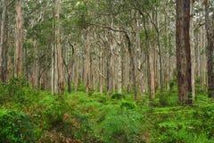 Foresta 1 di Boranup Fotografie Stock Libere da Diritti